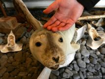 Petting a stuffed seal